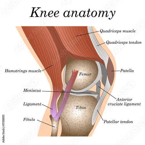 Fotografiet  Anatomy of the knee joint side view, template for training a medical surgical poster, traumatology page