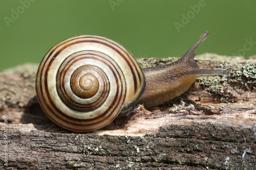 Grove or Brown-lipped Snail (Cepaea nemoralis)