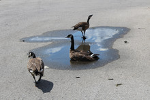Parking Lot Geese