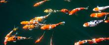 Japanese Fancy Koi Carp Fishes