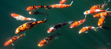 Japanese Fancy Koi Carp Fishes