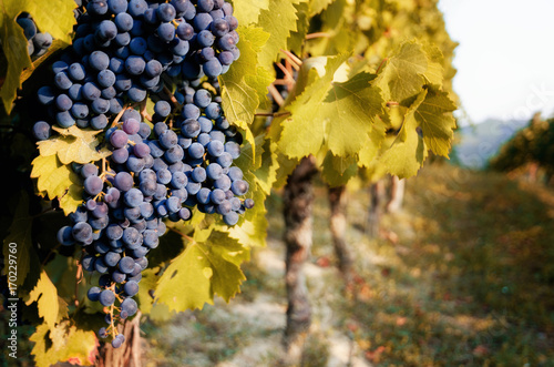 Spoed Foto op Canvas Wijngaard Italian vineyards of Langhe near Alba (Piedmont), with grapes ready for harvest