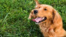 Golden Retriever Dog. Gorgeous...