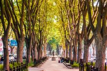 Japanese Elm Tree-Zelkova At Jozenji Street, Sendai, Japan
