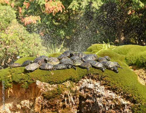 Turtles on the flowerbed at fountain in the city center Sibenik, Croatia. Wall mural