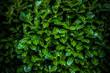 Grüner Lorbeerbusch