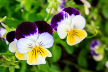 Purple, White And Yellow Trico...