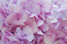 Beautiful Purple Hydrangea Flowers, Natural Background With Shallow Depth Of Field And Selective Focus.