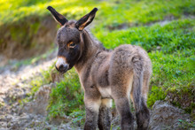 Young Donkey On The Grassland