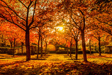 Red Trees In Autumn In A Park