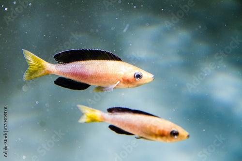 "Plakat Cichlid z jeziora Tanganyika, Cyprichromis sp. ""Leptosoma Jumbo"" (Tricolor)"