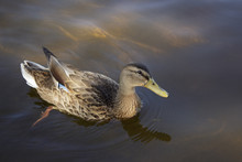 Female Mallard Duck Swimming In Shallow Water