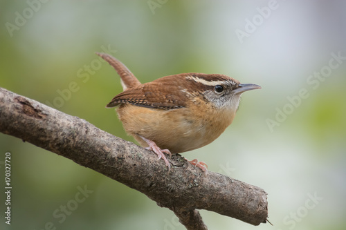 Carolina Wren Tablou Canvas