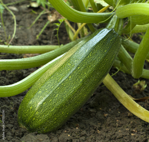 Courgette on the garden
