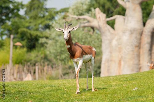 Antelope Antilope soliatria