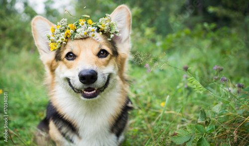 Poster Printemps A dog of the breed of Wales Corgi Pembroke on a walk in the summer forest. A dog in a wreath of flowers.