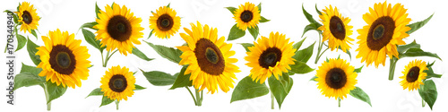Foto op Aluminium Zonnebloem Sunflowers isolated on white background