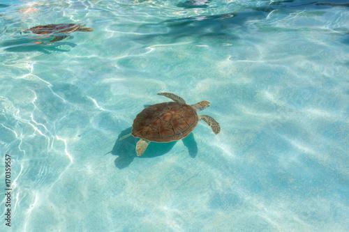 Plakat Zielony żółw morski. Zbliżenie