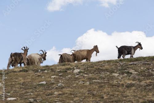Plakat dzikie kozy w górach latem na Korsyce