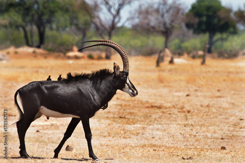 Fotografie, Obraz  Large Sable Antelope with oxpeckers on his back standing on the open African pla