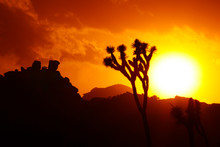 Joshua Trees As Sunset, Joshua...