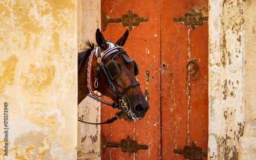 Photo Tourist horse peaks head out from behind a wall framed by a red door in Mdina, Malta