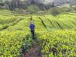 Malaysia, Pahang, Mann rennt durch Teefelder