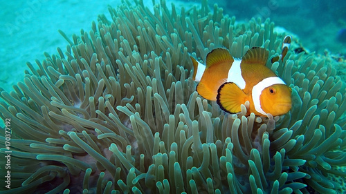 clownfish found in coral reef area at Redang island, Malaysia Tablou Canvas