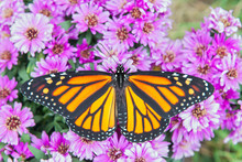 Monarch Butterfly With Spread ...