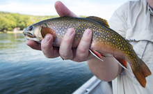 Brook Trout In Man's Hand