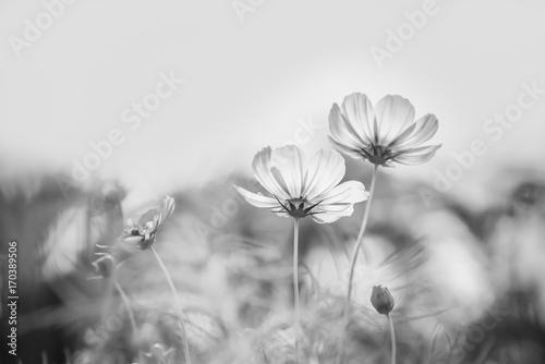 Obrazy szare  kwiat-kosmosu