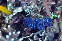Giant Clam Found In Coral Reef...