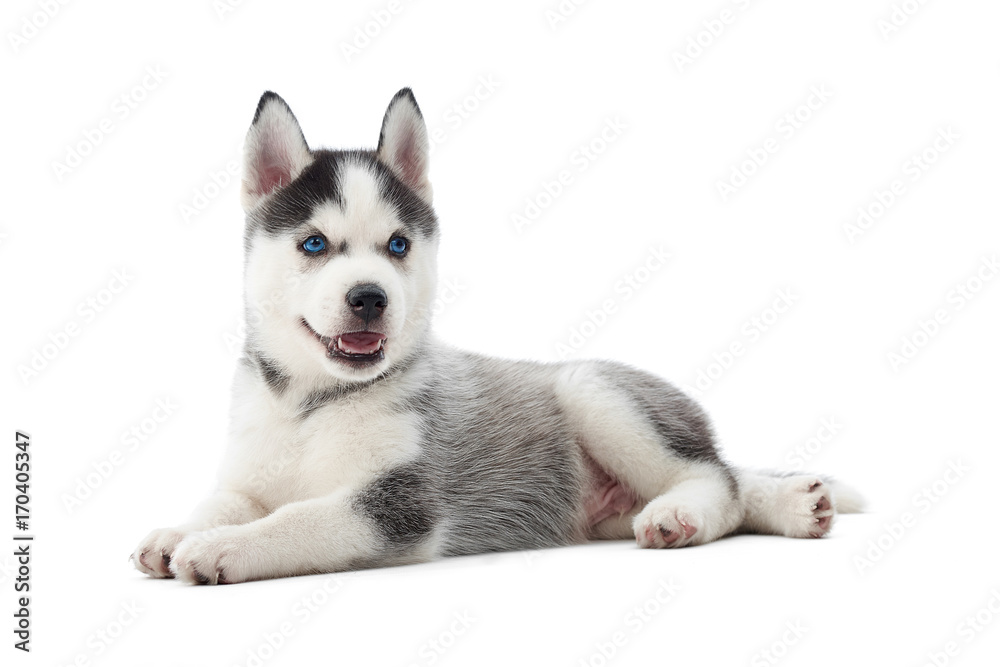 Fototapety, obrazy: Isolated portrait of little puppy siberian husky dog with blue eyes, lying on floor in studio. Funny small dog with opened mouth, resting, relaxed, looking away. Carried dog.