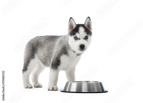 Studio Portrait Of Carried And Cute Puppy Of Siberian Husky Dog