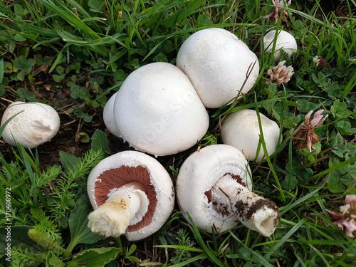 Wiesenchampignon; champignons