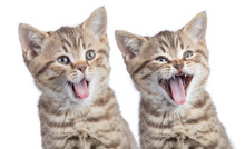 Two Funny Happy Young Cats Por...