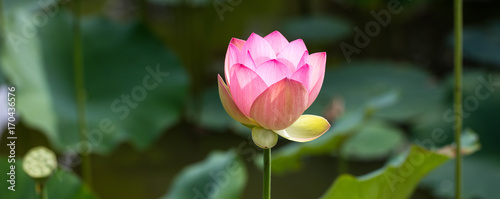 Poster Lotus flower green symbol of elegance and grace with a beautiful pink lotus