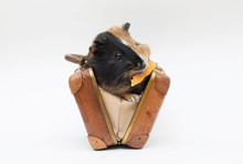 Guinea Pig Sits In A Little Suitcase Isolated
