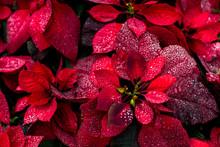 Bright Christmas Background Flower Poinsety Wallpaper