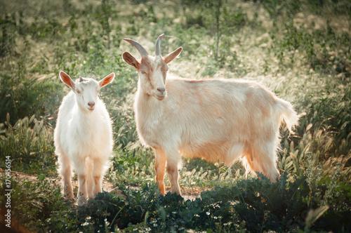 Plakat Kozy matki i dziecka na pastwisku. Kóz domowych na zewnątrz. Farma wolnowybiegowa.