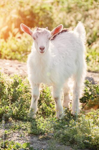 Plakat Ciekawy koźlia pasanie na zielonym trawiastym gazonie. Zwierzę hodowlane. Koza patrzy w kamerę. Koza domowa. Farma wolnowybiegowa.