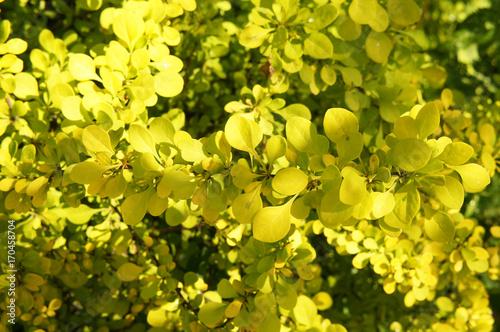 Berberis Thunbergii green carpet yellow foliage background Wallpaper Mural