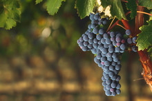 Ripe Cabernet Grapes On Vine G...