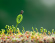 Moss and conifer seedling