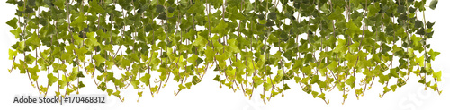 Ivy leaves isolated on white