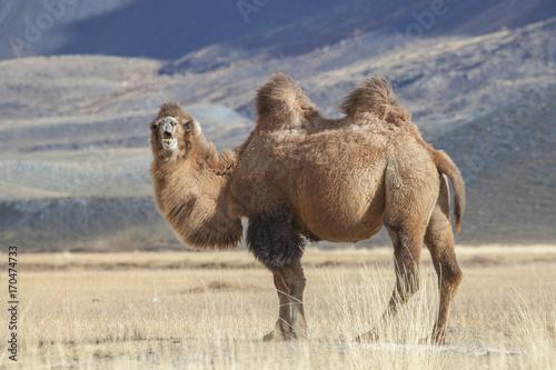 Tuinposter Kameel Bactrian Camel, Altai Tavan Bogd National Park, Mongolia