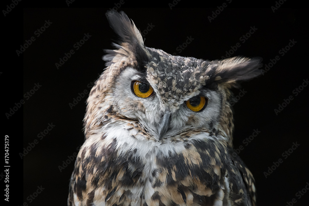 portrait of an eagle owl very close up with black background and looking straight at camera with its head slightly tilted  and vacant expression