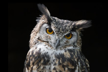 Portrait Of An Eagle Owl Very ...