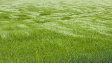 Natural Green Grass With The Waves Of Wind. Background Texture. Element Of Design. Waves Of Wind Rolling Through Fields Of Long Grass Of Wheat