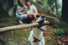 A Dog Holding Wooden Stick In ...